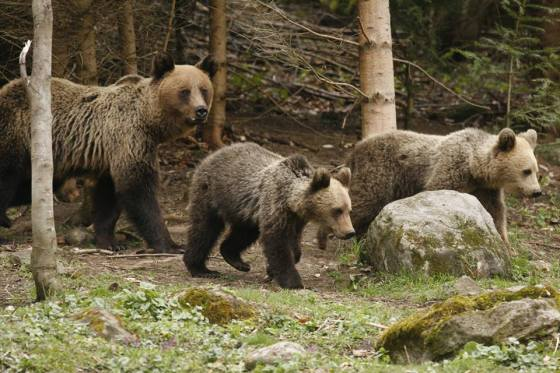 when to see bears in Romania bear family