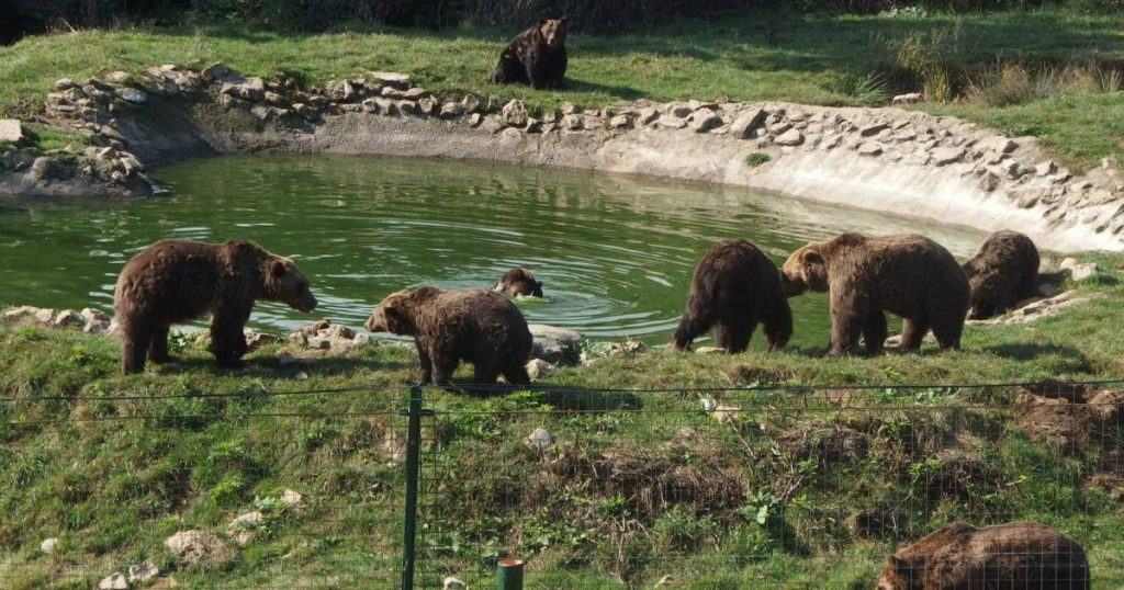 bear watching Romania Zarnesti sanctuary