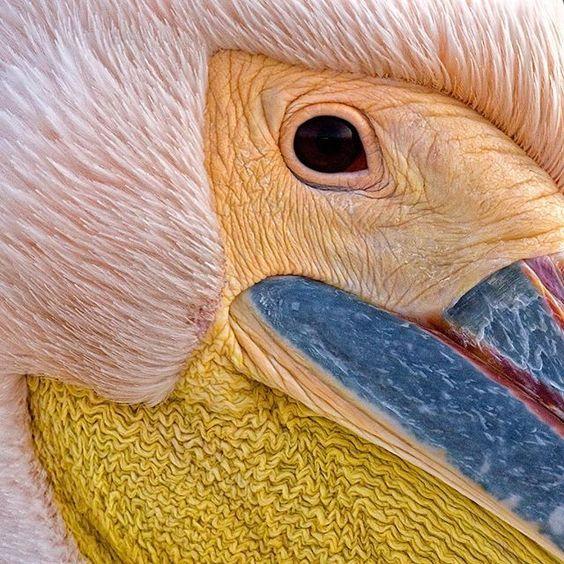 Great White Pelican in Danube Delta