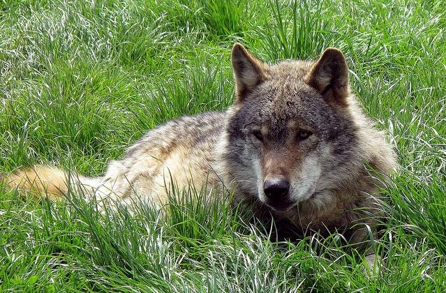 wolf watching Romania wolf resting