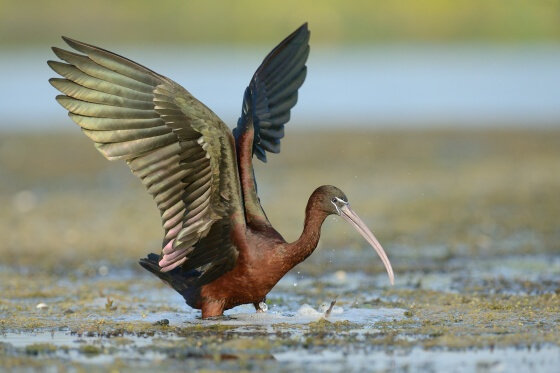 Danube Delta wildlife watching glossy ibis