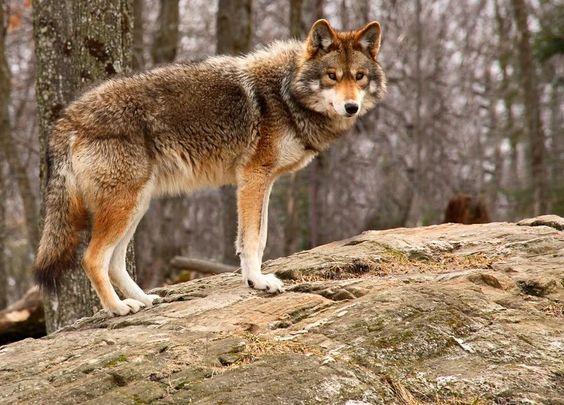 Carpathian Wolf via Pinterest