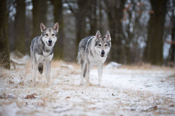 Timber Wolf Males