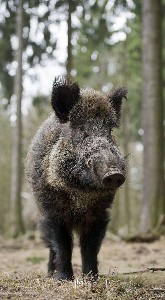 Wild boar male