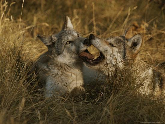 Gray Wolf Pups