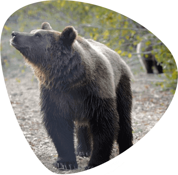 Brown bear facts: brown bear sanctuary in Romania