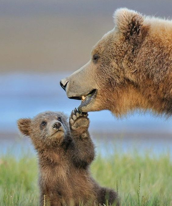 Brown bear facts: Top 10