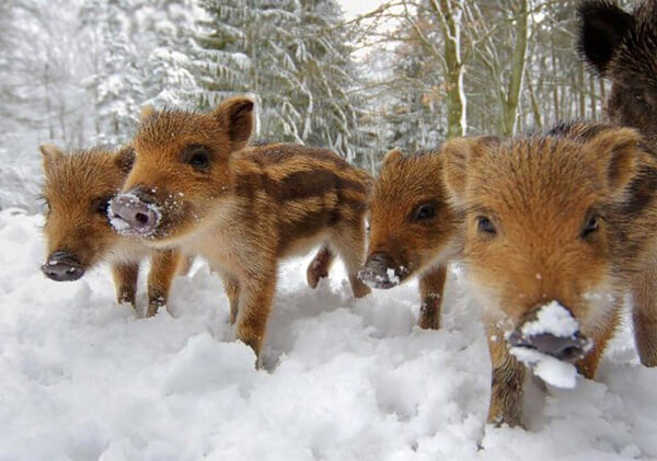 Wild Boar Facts: Top 10