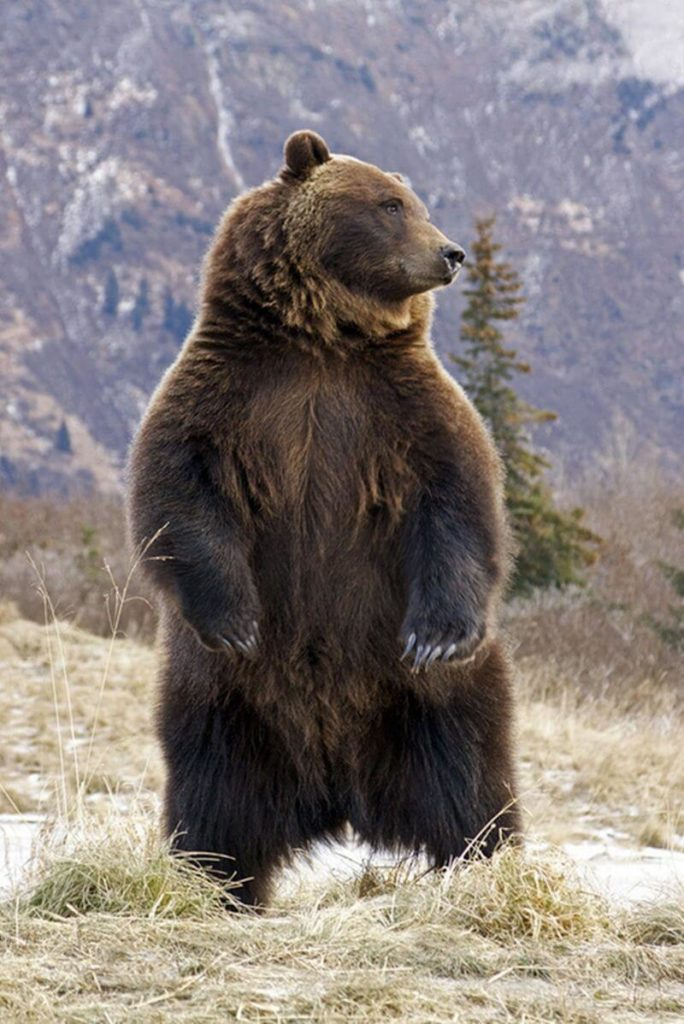 Animals that live in Romania: the brown bear
