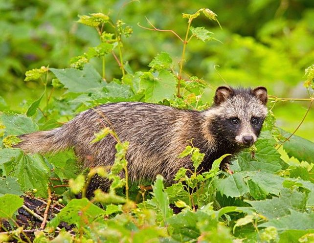 Raccoon dog in Danube Delta