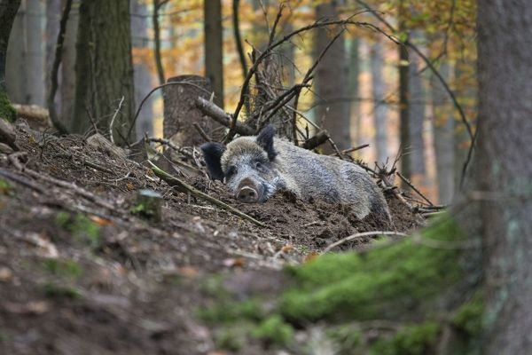 Wild boar in the mud