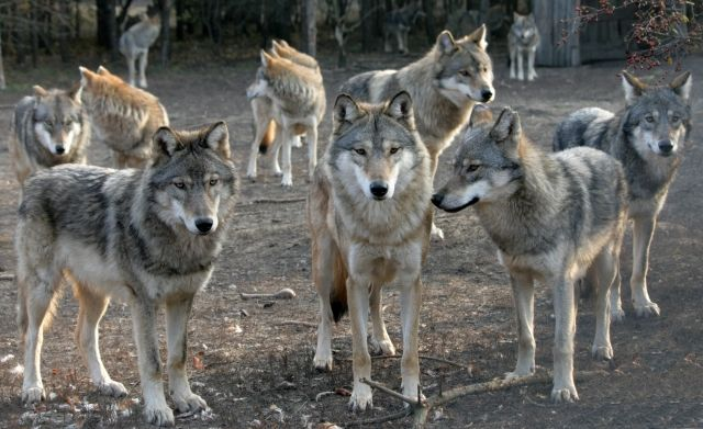 Gray Wolf Facts: life in a pack