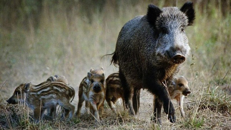 Wild boar sow with piglets in Romania