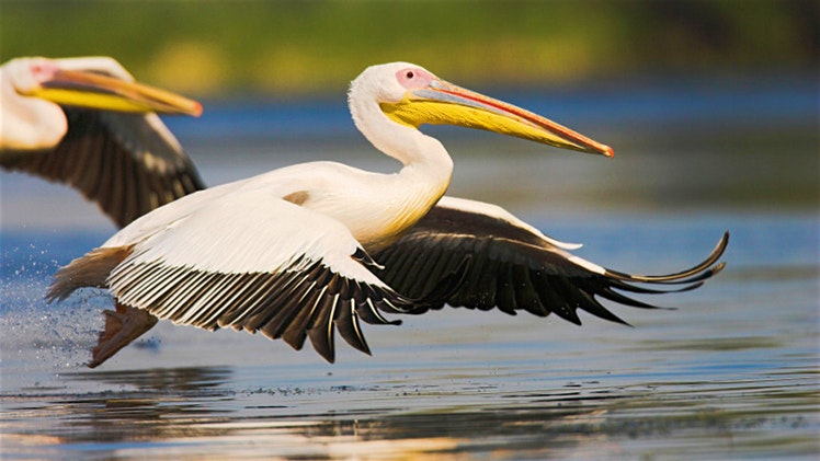Great White Pelican in the Danube Delta