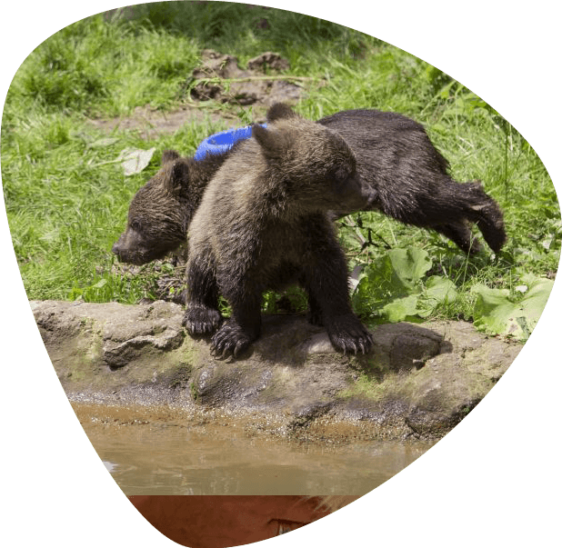 European Brown Bear cubs at Liberty bear Sanctuary Romania