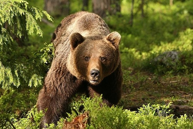 Romanian brown bear