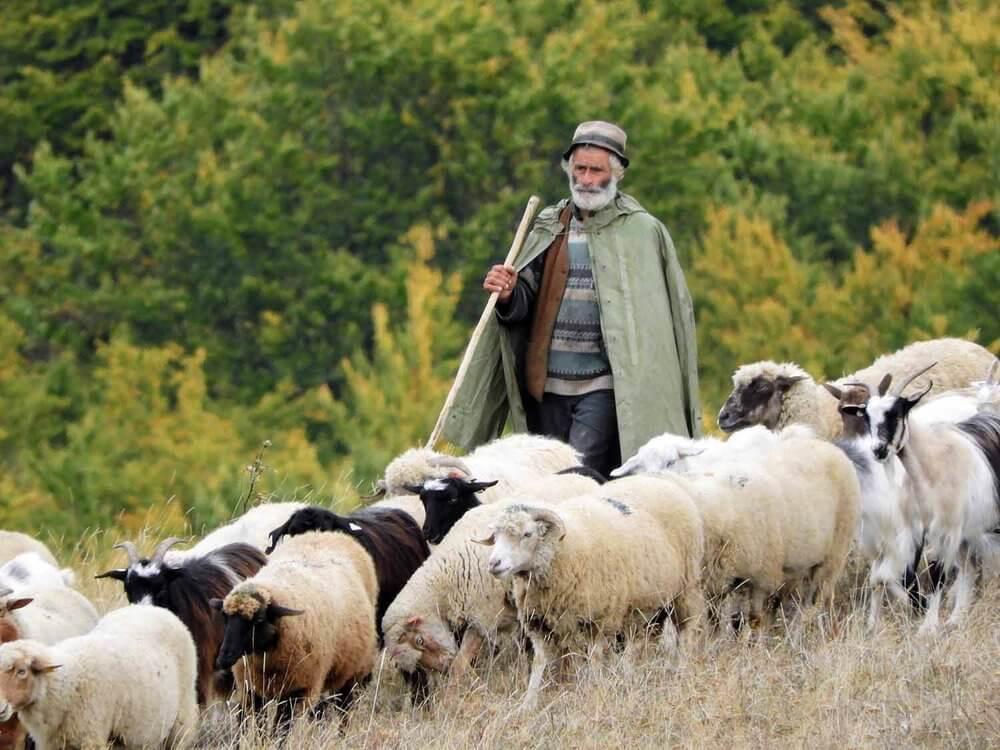 Herding sheep in Transylvania
