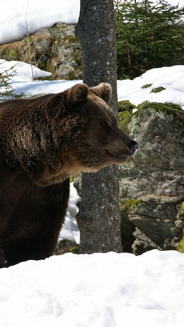 Brown bear facts: they don't hibernate
