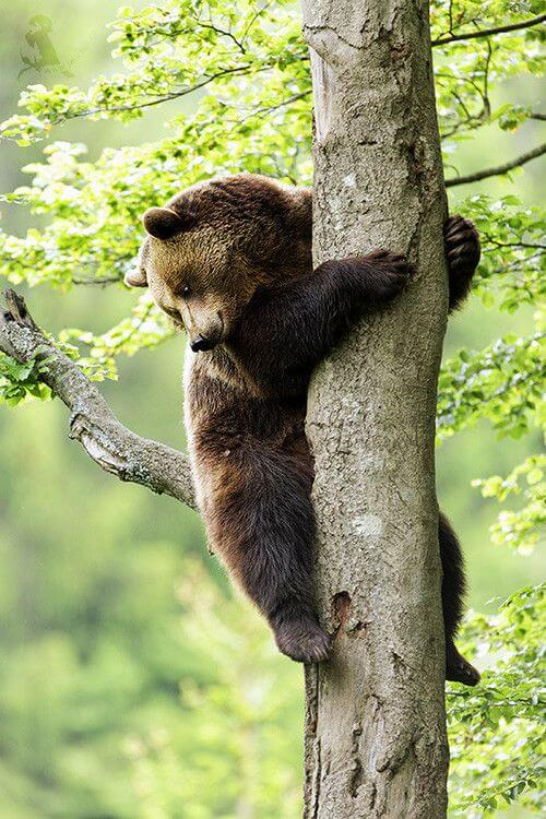 Brown bears are not great at climbing trees, but they can do it