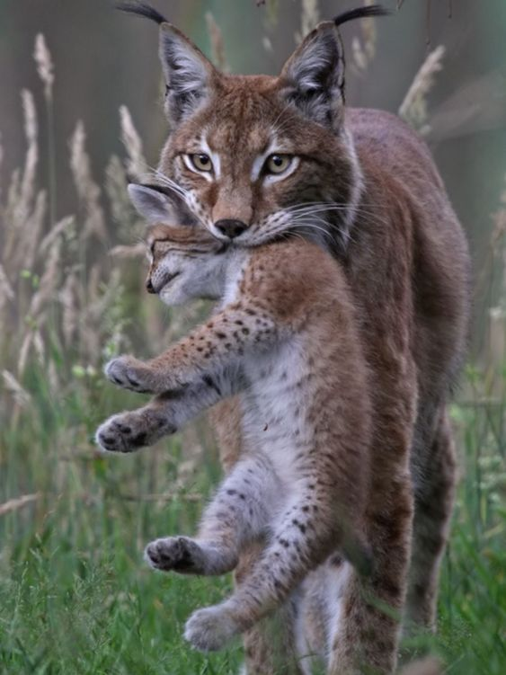 Romania wildlife: eurasian lynx with cub