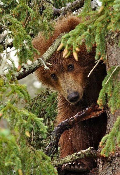 Brown bear look