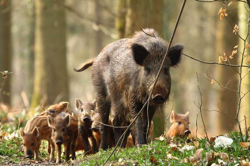 Wild boar female with piglets