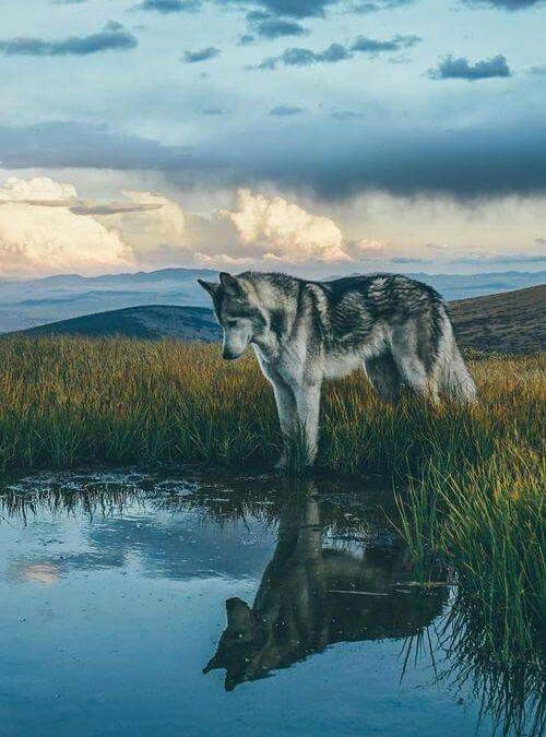 Gray Wolf Facts: Top 10