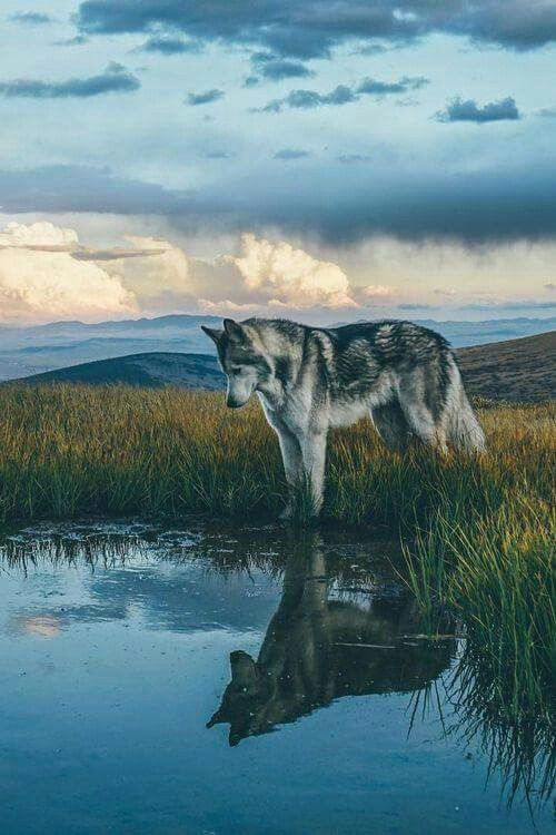 Gray Wolf Facts via Pinterest