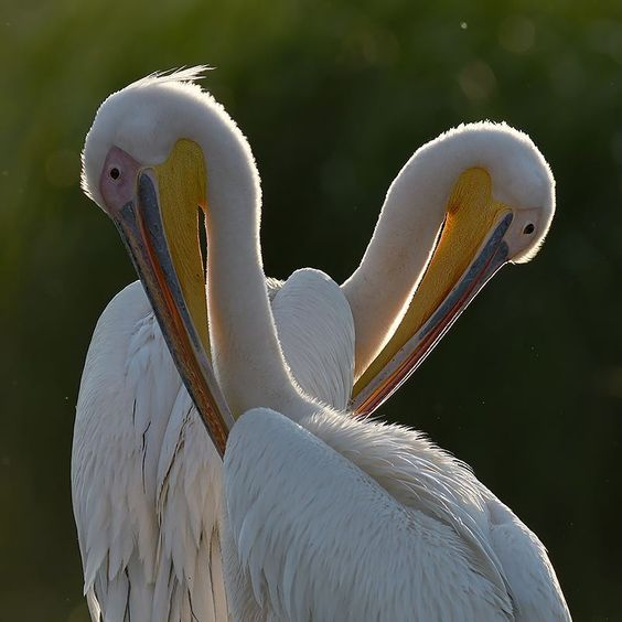 Romania wildlife in Danube Delta: white pelican