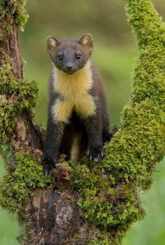 Unique european animals: scottish pine marten
